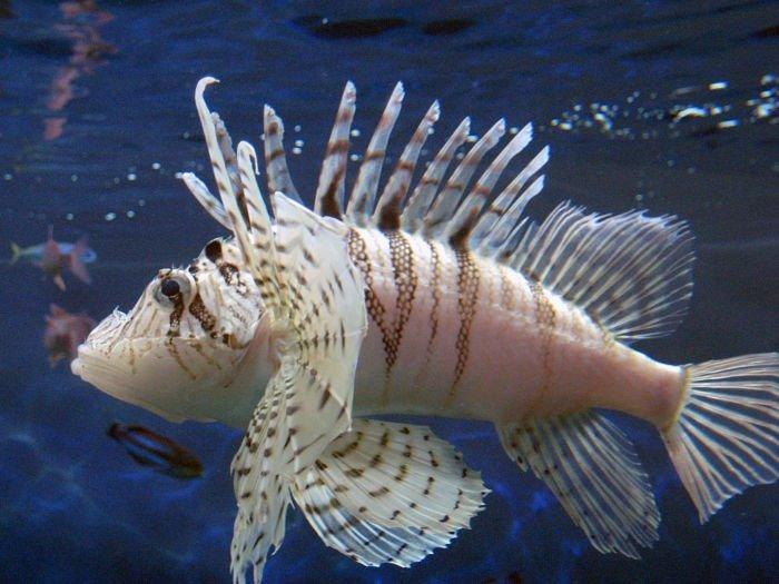 pez león blanco, peces exoticos del caribe