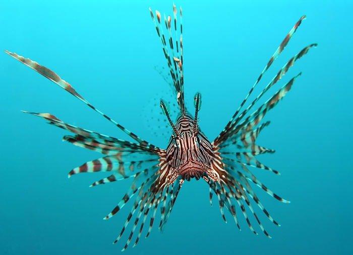 pez león caribe