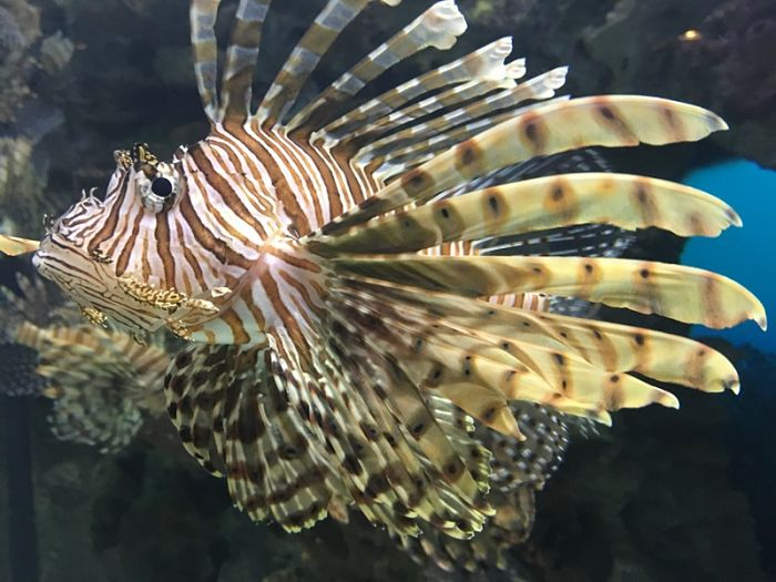 pez león chino