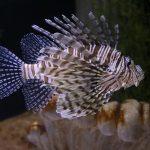 pez león en honduras