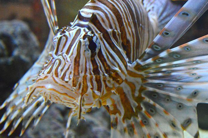 pez león gigante
