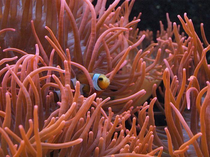 pez payaso acuario