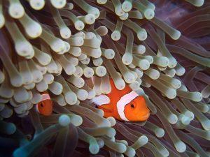 pez payaso anémona