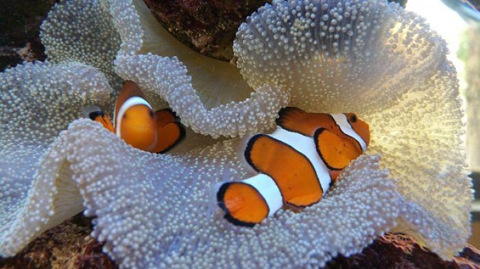 pez payaso botia