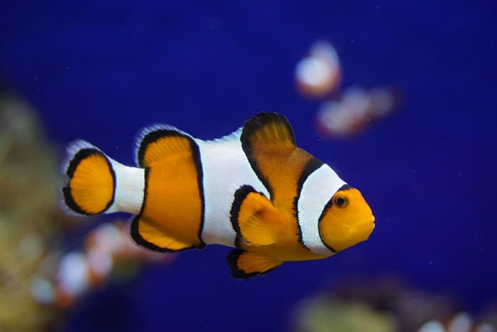 pez payaso fotos