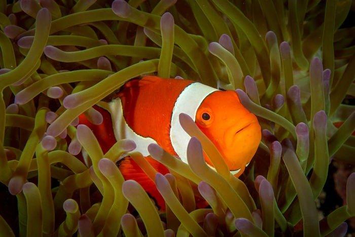 pez payaso imágenes