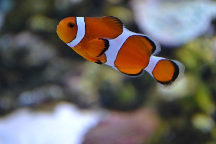 pez payaso imagen