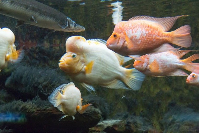pez rey midas imágenes