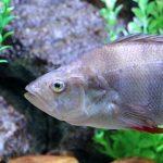 Foto de pez perca