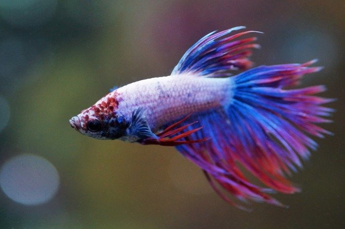 Fotos del pez betta koi