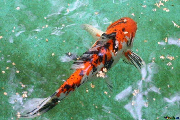 Fotos del pez koi