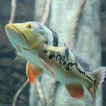 Fotos del pez perca