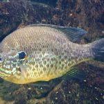Fotos del pez perca sol