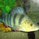 Imagen del pez perca
