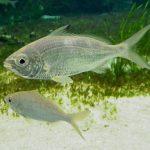 imagenes de pez mojarra