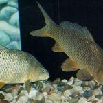 Imagenes de peces carpas