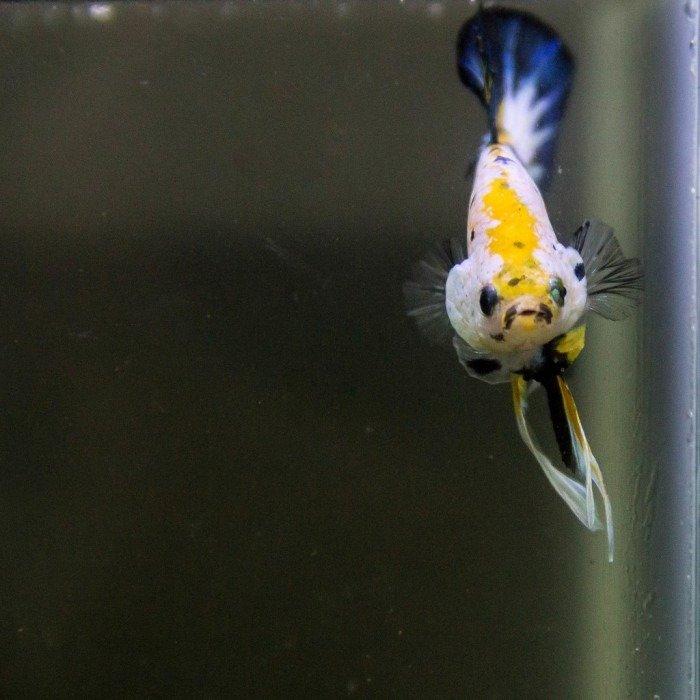 imagenes del pez betta koi