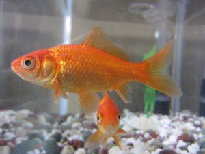 Pes goldfish comun