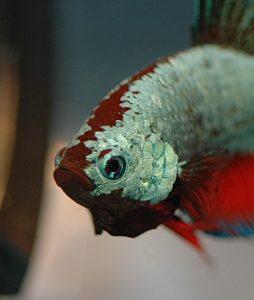 Imagen del Pez betta dragón rojo