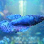 pez betta hembra corona