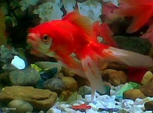 Pez goldfish Fantasía