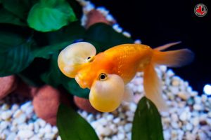 Pez goldfish ojo de burbuja
