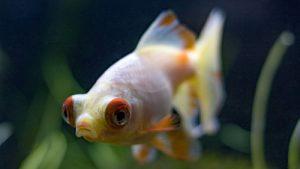 Pez goldfish Ojo del globo o telescopio
