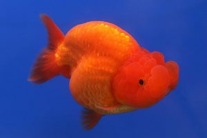 Pez goldfish Ranchu