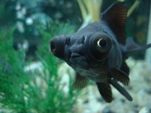 Pez goldfish de cola ancha