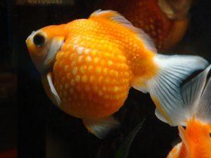 Pez goldfish pearlscale
