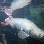 arapaima pez del amazonas