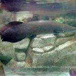 el pez arapaima