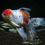 huevos de pez goldfish