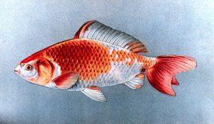 goldfis wakin