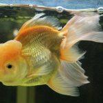 pez goldfish mas grande del mundo