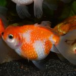 pez goldfish ficha