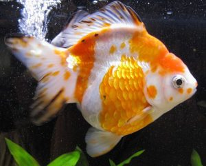 goldfish ryukin