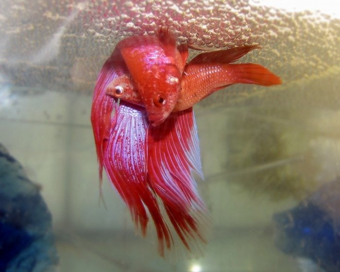 imagen de peces betta rosas