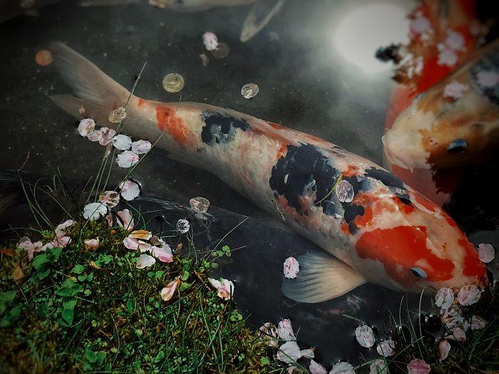 imagen del pez koi