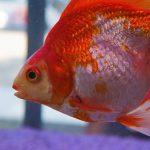 pez goldfish pequeño.