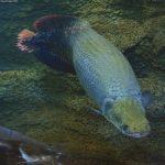 imagenes del pez arapaima