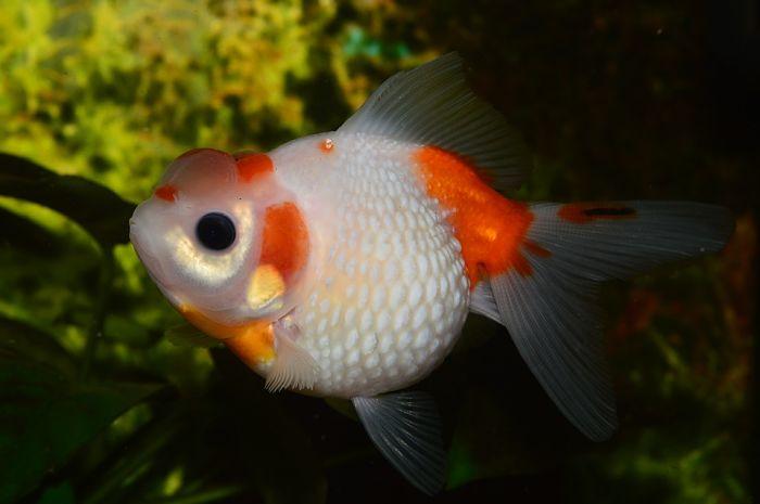 pez goldfish tiempo de vida