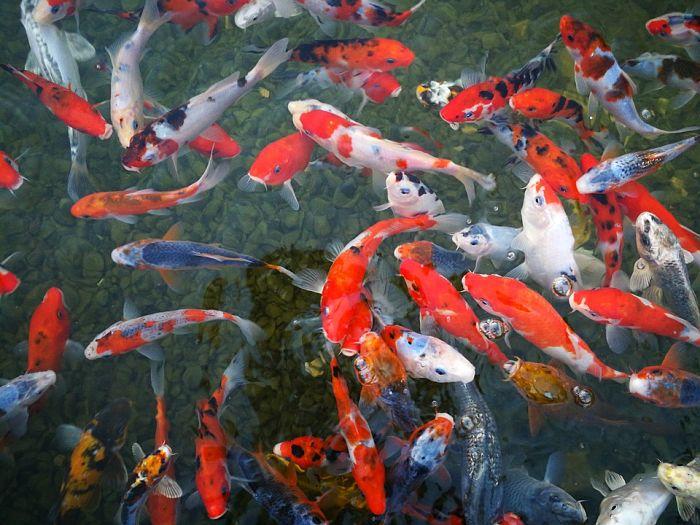 imagenes del pez koi