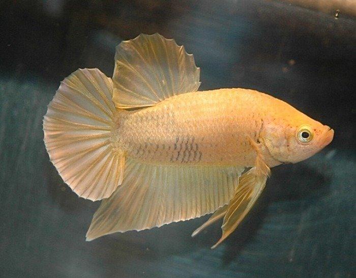 nombre para un pez betta amarilo