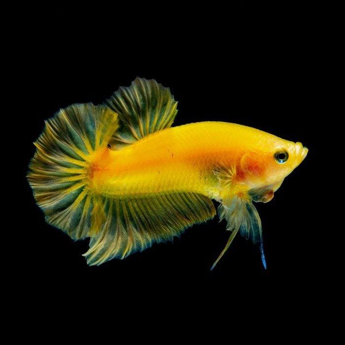 peces betta amarillos