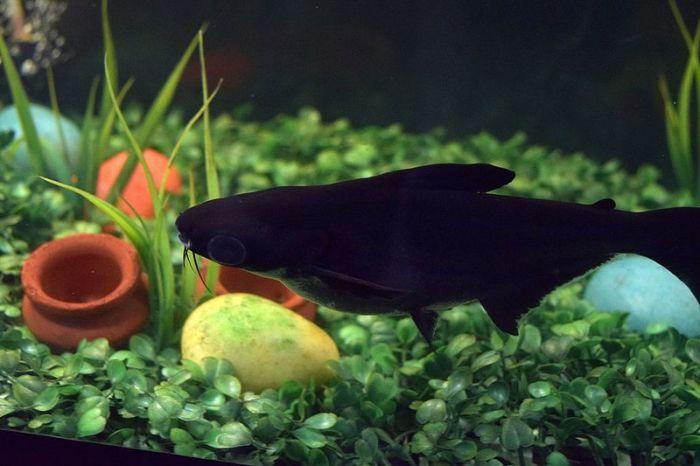 pez-bagre-negro