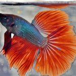 pez betta azul con rojo