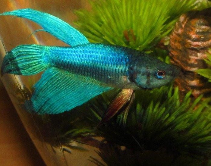 pez betta azul y rojo