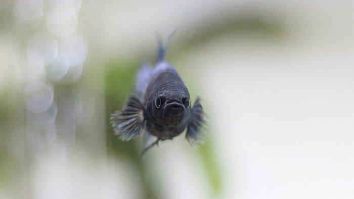 pez betta color negro