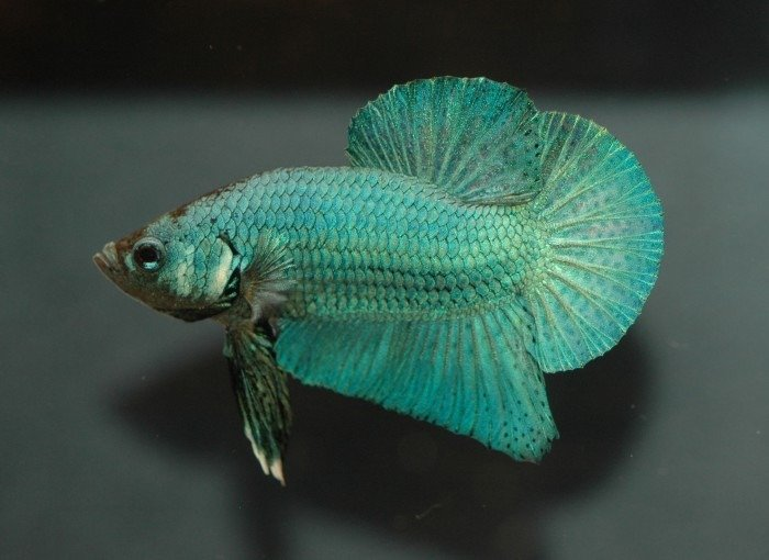 pez betta color verde